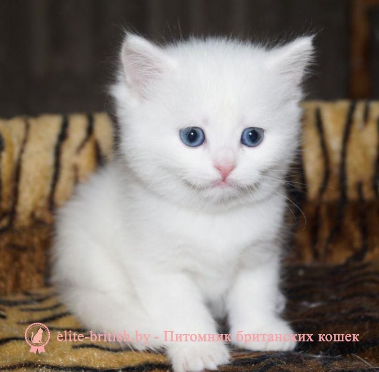 фото британские белые котята