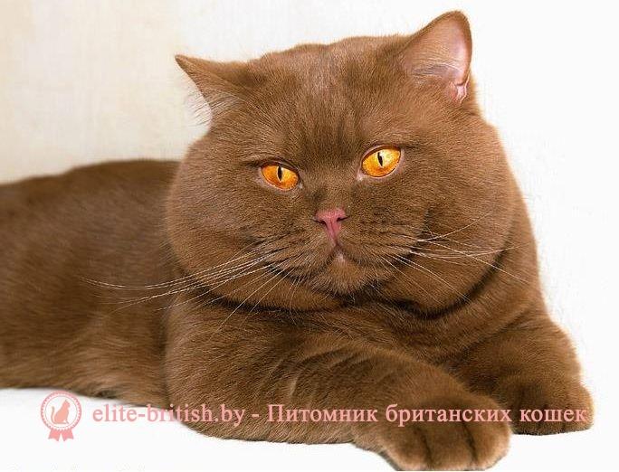 Британцы картинки котята 3
