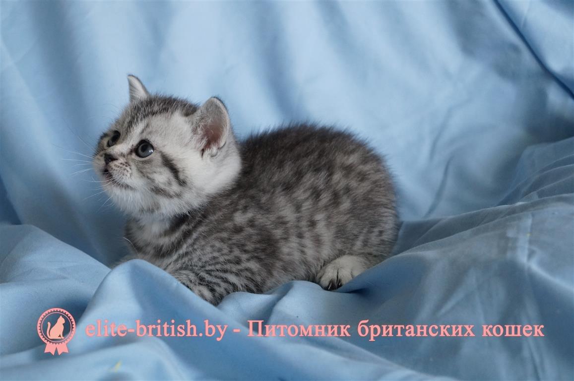 британские котята вискас фото и уход какой красивой фотографии