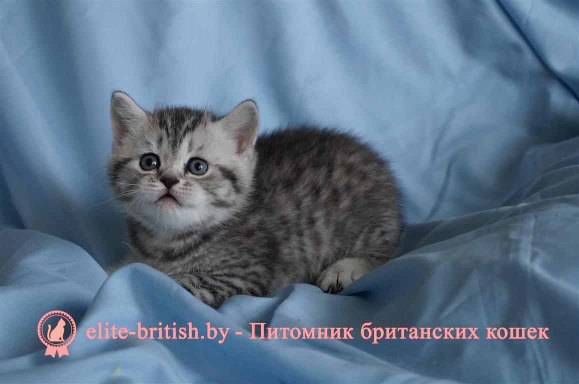 кованный британские котята вискас фото и уход того