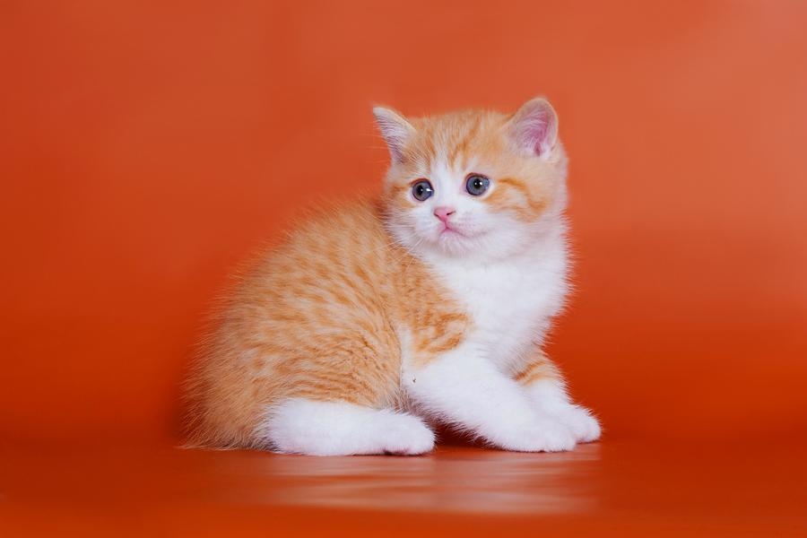 Питомник кошек Британские кошки, котята. Вислоухие кошки, котята в ... | 600x900