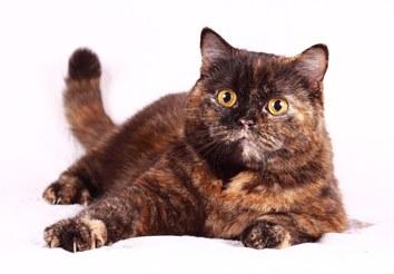 Черепаха британец (британская кошка)