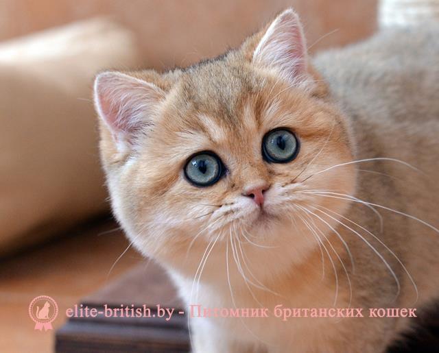 Британцы картинки котята 1