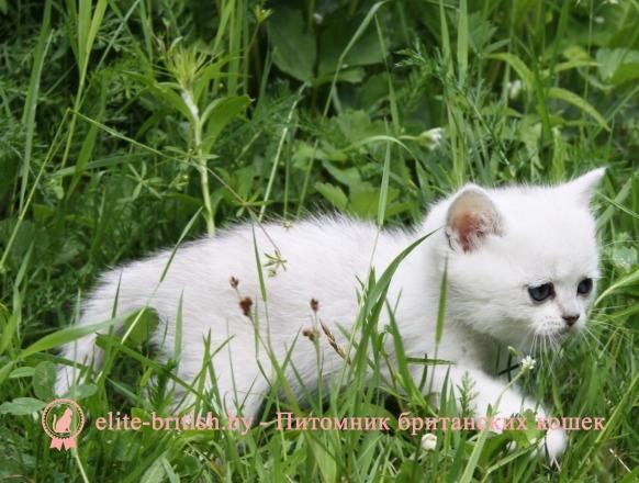 Британцы картинки котята 6
