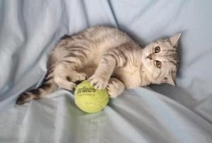Британский котенок вискас. Британец серебристый мраморный (черный мрамор на серебре)