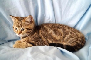 Мраморный британский котенок. Черный мраморный окрас британцев