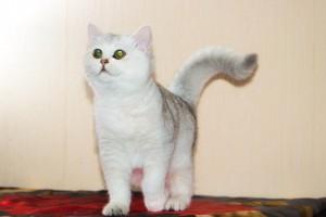 Британец шиншилла: фото галерея, стандарт окраса. Все об окрасе шиншилла. Британские коты, кошки, котята окраса шиншилла золотая, серебристая: фото, описание.