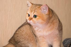 Британский котенок золотого окраса шиншилла (золотой британец)