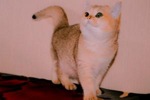 Британский котенок золотого окраса шиншилла (золотой британец)Британский котенок золотого окраса шиншилла (золотой британец)