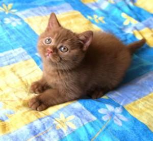 Британский котенок циннамон окраса. Британец циннамон