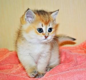Золотой британский котенок. Британец окраса золотая шиншилла
