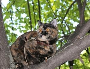 Черно-красный черепаховый окрас  британских кошек