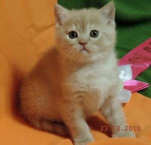 Британский котенок кремовый камео (британец серебристый затушеванный камео)