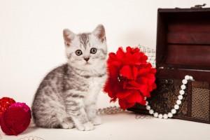 Британский котенок серебристый леопардовый Alba (Альба)