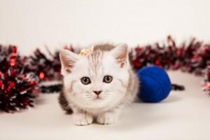 Британский котенок серебристый мраморный Alisha (Алиша)