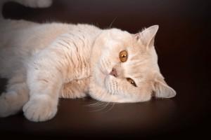Вязка британского кота кремового окраса Attila EdelWeiss
