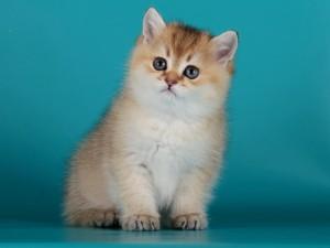 Британский кот золотая шиншилла Balthazar Verso