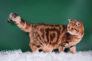ОКРАСЫ!!!  Форум о британских и шотландских кошках