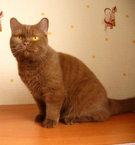 Британская кошка циннамон - цвета корицы - циннамон британец фото
