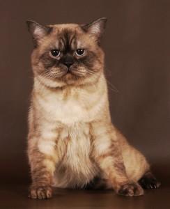 CREAT GEROY Британский кот шоколадный-пойнт