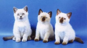 Черный-пойнт окрасы британских кошек: фото, стандарт породы. Черный-пойнт британские кошки, коты, котята: фото. Британцы Черный-пойнт: стандарт окраса (британцы черный пойнт, черный поинт: британские котята, коты, кошки)