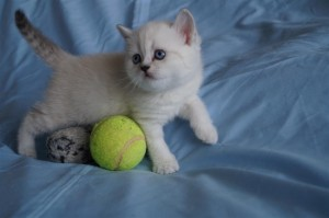 Британские котята вискас и колор-пойнт: фото галерея окрасов