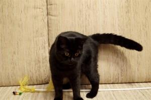 Черный британский котенок. Черный британец