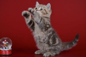 ФОТО И ВИДЕО БРИТАНЦЕВ: Породистые плюшевые короткошерстные британские кошки, коты, котята.Картинки породы