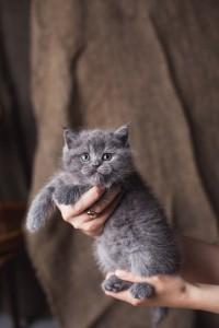 Британский голубой котенок Darly Elite British