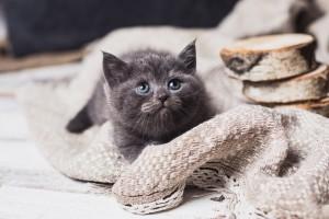 Британский голубой котенок Dejv Elite British