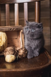 Британский голубой котенок Diksi Elite British