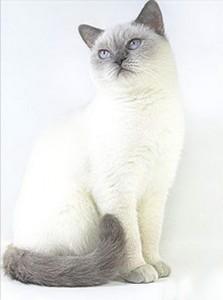 Голубой-пойнт окрасы британских кошек: фото, стандарт породы. Голубой-пойнт британские кошки, коты, котята: фото. Британцы голубой-пойнт: стандарт окраса (британцы голубой пойнт, голубой поинт: британские котята, коты, кошки)