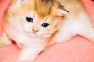 IЗолотой британский котенок. Британец окраса золотая шиншилл