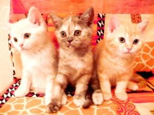 Серебристый мраморный табби окрас британских кошек: фото галерея, стандарт породы, виды окрасов. Серебристые мраморные табби британские кошки, коты, котята. Британцы серебристые мраморные табби (мрамор на серебре).
