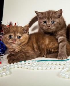 Британский котенок Шоколадный дымчатый Kaspian Lukosan