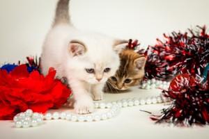 Британский котенок колор-пойнт Keili Lukosan