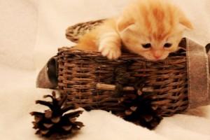 Шотландский котенок LOLITA