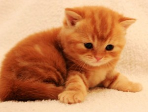 Шотландский котенок LORENSIYA