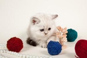 Британский котенок серебристый пойнт с голубыми глазами Leonardo Olimpia Marble (Леонардо)