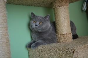 Вязка британского кота голубого окраса Orley O'Casey of Noble Birth