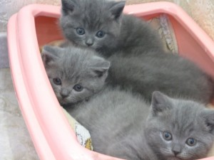 Британские голубые котята Pruss