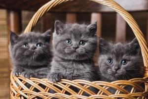 Котенок британец. Котенок голубой британец. Голубые британские котята. Котята голубого окраса