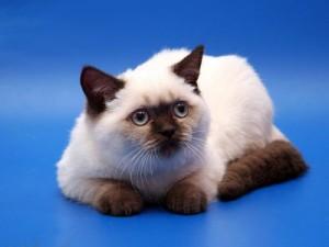 Шоколадный-пойнт окрасы британских кошек: фото, стандарт породы. Шоколадный-пойнт британские кошки, коты, котята: фото. Британцы шоколад-пойнт: стандарт окраса (британцы шоколад пойнт, шоколадный поинт: британские котята, коты, кошки)