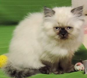 Британская длинношерстная кошка YANIKA шоколадный пойнт