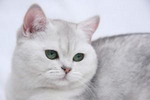 Серебристый затушеванный окрас британских кошек. Затушеванные серебристые британские кошки, коты, котята: фото. Британцы серебристые затушеванные: стандарт окраса